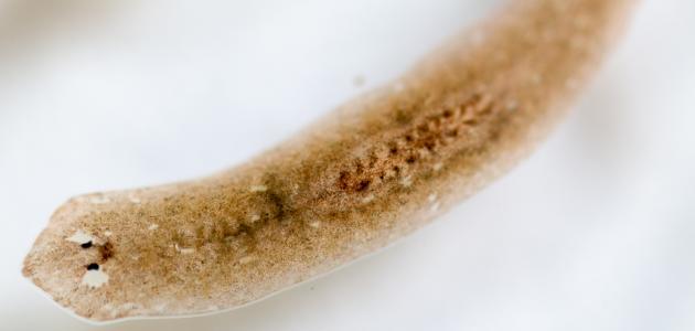بحث عن الديدان المفلطحة