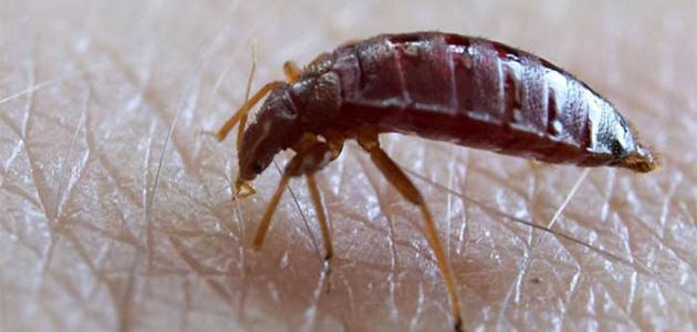 أضرار حشرة البق