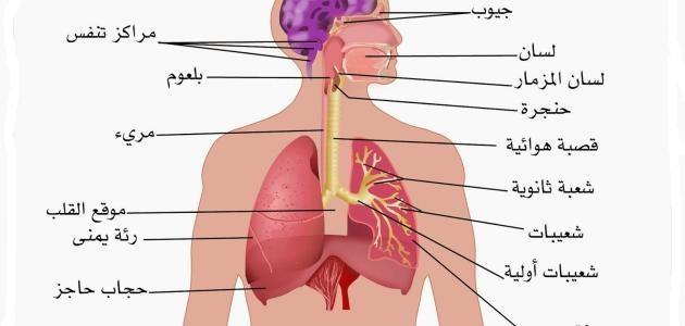 بحث حول الجهاز التنفسي موضوع
