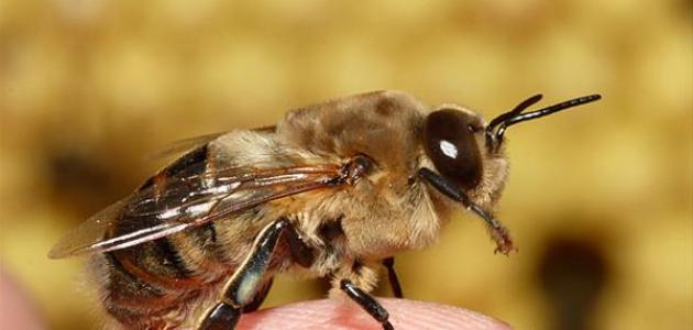 بحث عن النحل للصف الأول الإعدادي