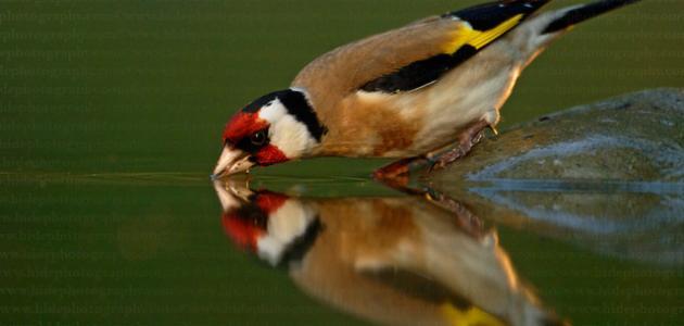 أنواع طائر الحسون