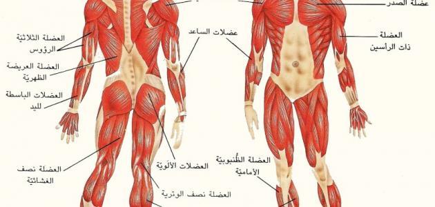 أنواع العضلات