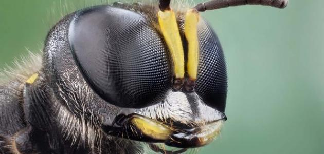 كم عدد عيون النحلة