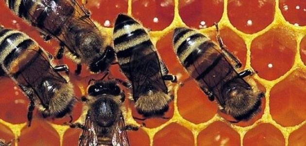 فوائد عسل البرسيم