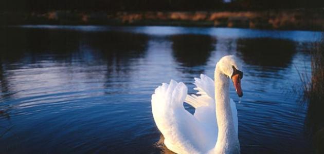 بحيرة البجع