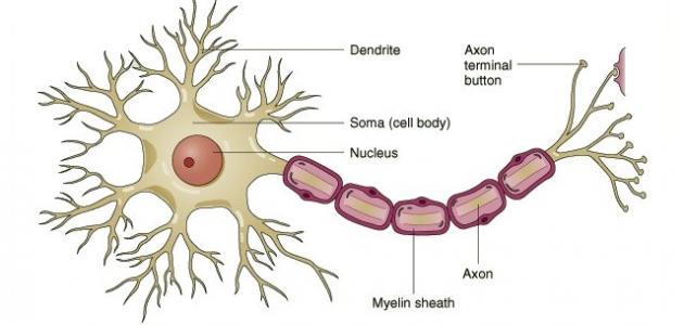 أنواع الخلايا العصبية  _الخلايا_العصبية