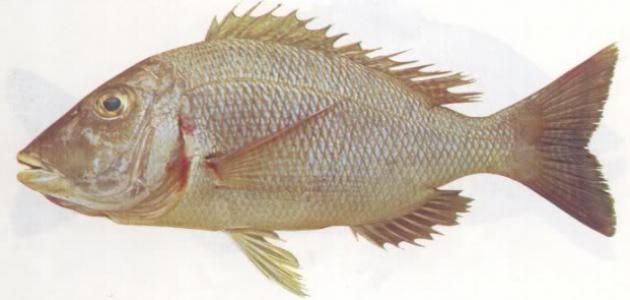 أنواع أسماك البحر الأحمر