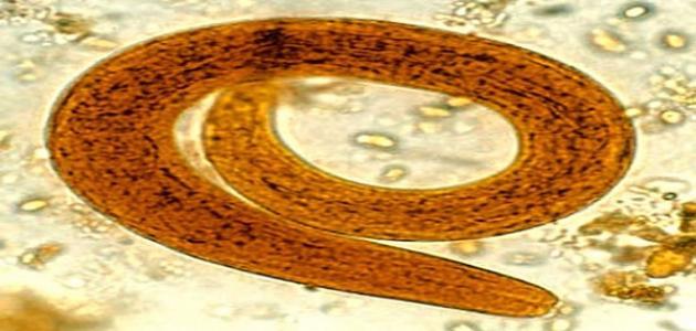 بحث عن الديدان الأسطوانية