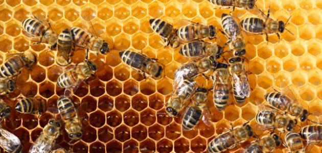ما هي لغة التخاطب عند النحل