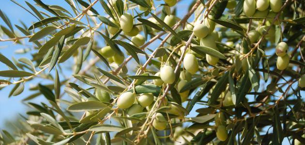 تعبير عن شجرة الزيتون