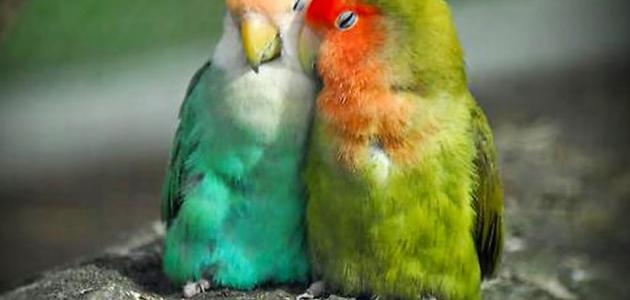 معلومات عن عصافير الحب