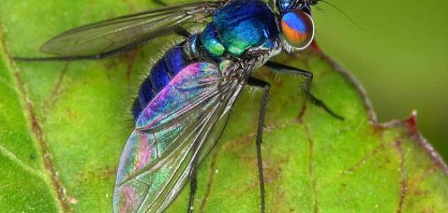 أنواع الحشرات الطائرة
