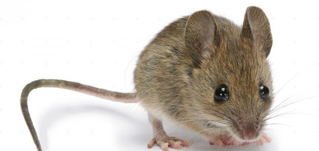 طرق للتخلص من الفئران