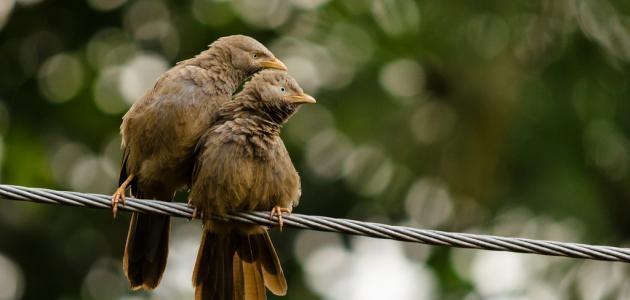 كيف تلقح الطيور