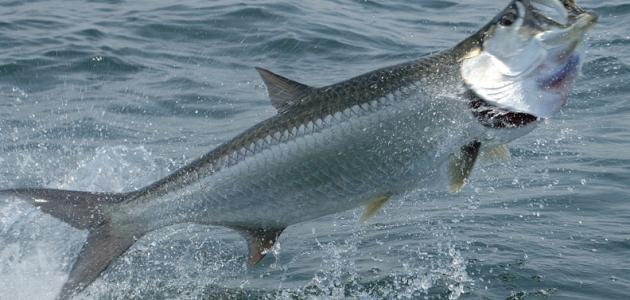ما أهم الأسماك في المحيط الأطلسي