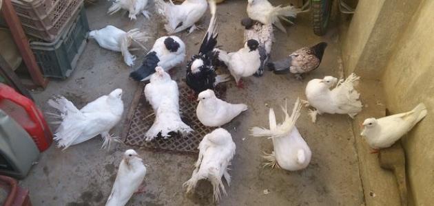 أنواع الطيور الزاجلة