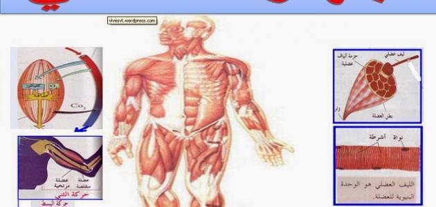 بحث عن الجهاز العضلي