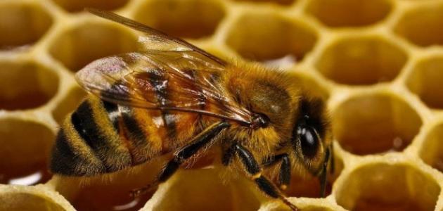 بحث عن فوائد النحل