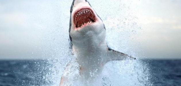 تعريف القرش