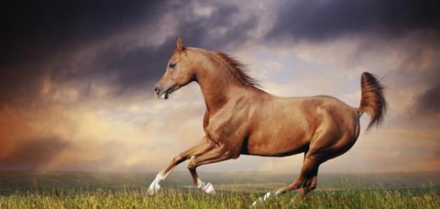 """الحصان العربي الأصيل ط§ظ""""ط®%D"""
