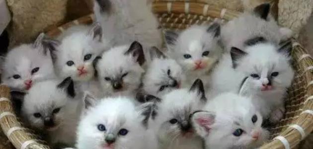 Image result for القطط الخمسة البيضاء الصغيرة