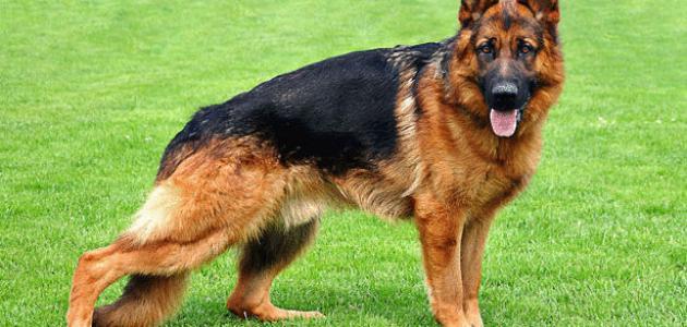 أفضل كلاب العالم