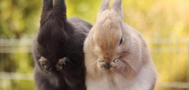 معلومات عن الأرنب
