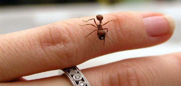 فوائد قرصة النملة