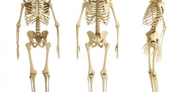 عدد العظام في جسم الإنسان
