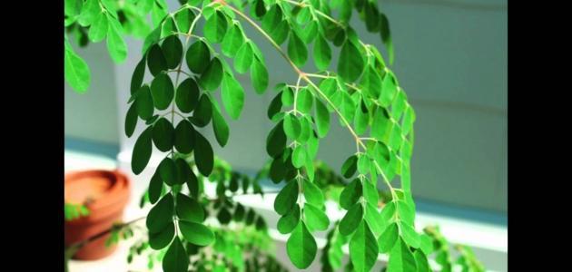 طريقة استخدام عشبة المورينجا