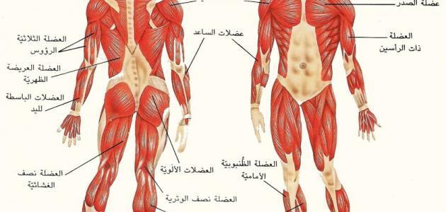 كم عدد العظام في جسم الإنسان