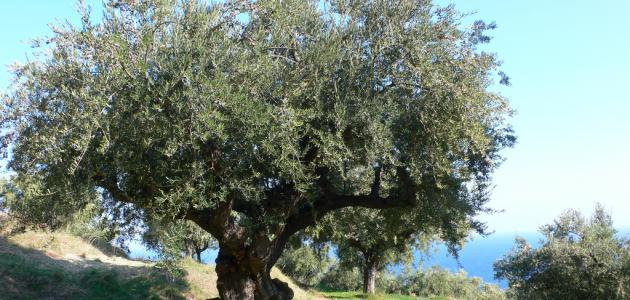 شجرة الزيتون في فلسطين