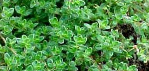 فوائد الزعتر الأخضر