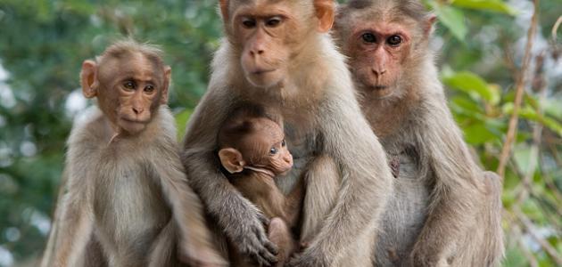 حياة القرود طظٹط§%D