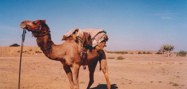 تكيف الجمل في الصحراء