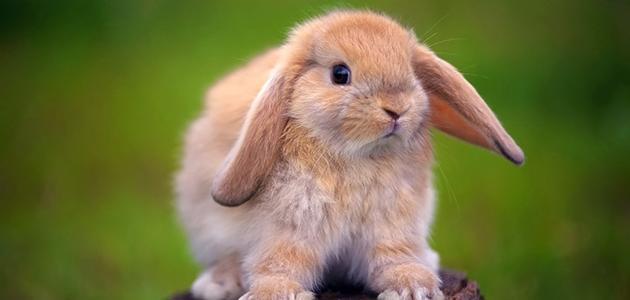 صغير الأرنب