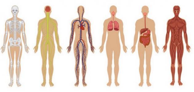 مكونات جسم الإنسان