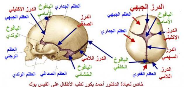 عدد عظام الجمجمة