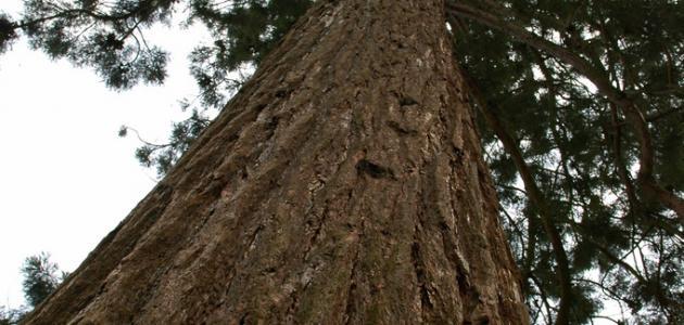 أضخم شجرة في العالم