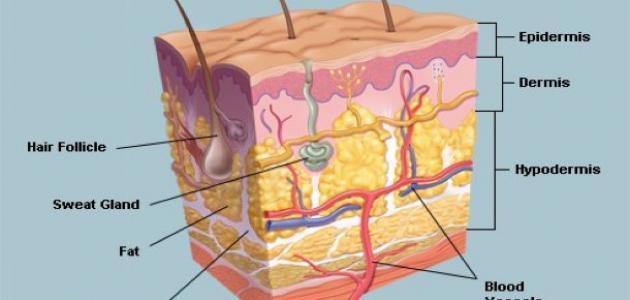 ما اسم الطبقة الداخلية للجلد