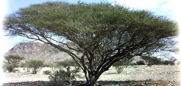 صور أشجار السمر المهددة بالإنقراض %D9%85%D8%B9%D9%84%D9%88%D9%85%D8%A7%D8%AA_%D8%B9%D9%86_%D9%86%D8%A8%D8%A7%D8%AA_%D8%A7%D9%84%D8%B3%D9%85%D8%B1