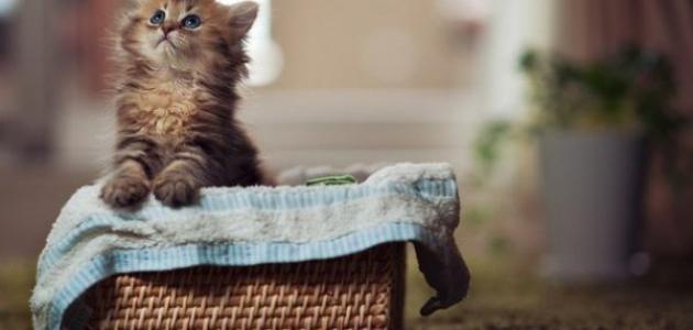 صغير القط