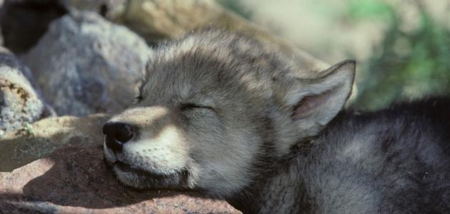 صغير الذئب