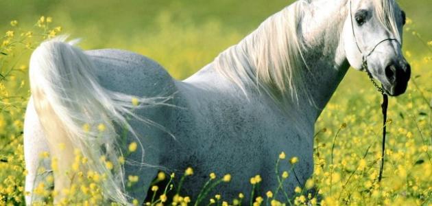 ما اسم أنثى الحصان
