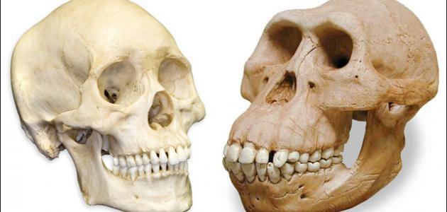 ما عدد عظام الجمجمة