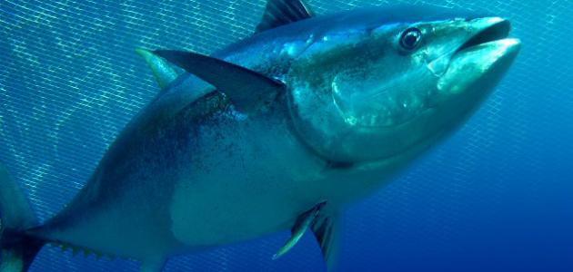 صيد التونة