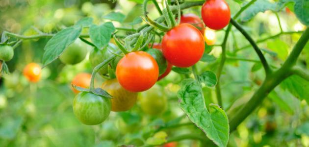 كيف أزرع طماطم بالبيت