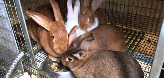 معلومات عن تربية الأرانب