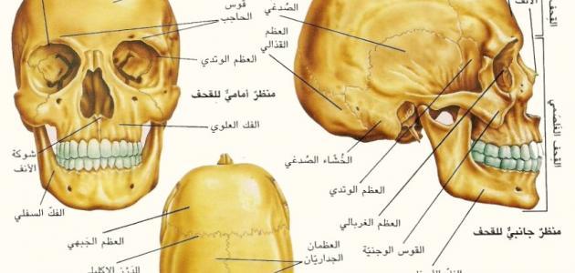 39129a9757ac8 كم عدد عظام الجمجمة - موضوع