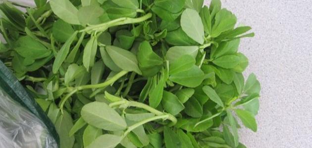 فوائد الحلبة الخضراء